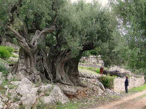 Оливковое дерево возрастом 1500 лет