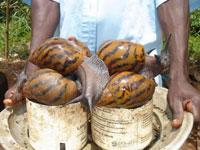 гиганская африканская улитка
